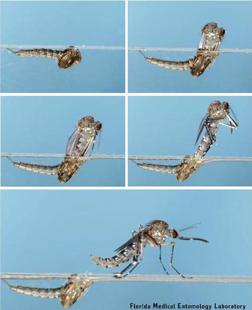 Mosquitoes Life Spans in and near Tampa Florida
