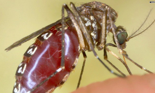 Parasite Bearing Mosquitoes in and near Tampa Florida