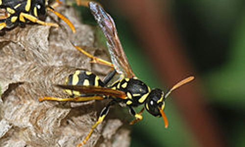 Kills Wasps and Maud Daubers in and near Lakeland Florida