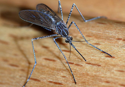 Salt Water Mosquitoes in and near Palm Harbor Florida