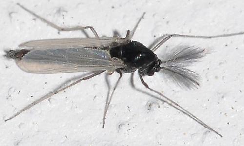 Kills Aquatic Midges and Lake Flies in and near St Petersburg Florida
