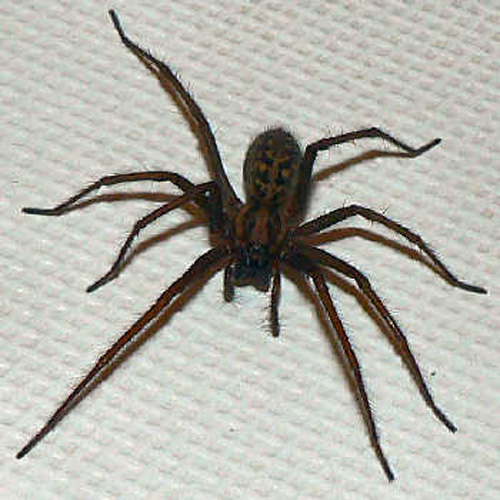 Kills Spiders in and near St Petersburg Florida